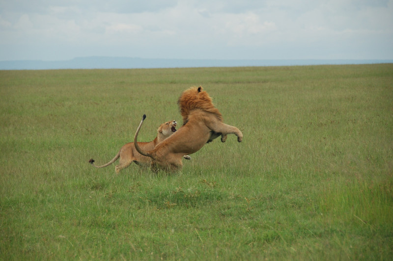 Lions fight in the wild